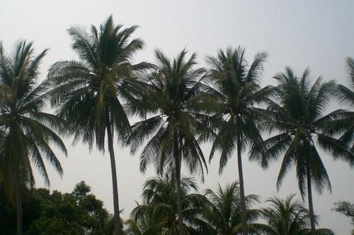 Guat Palm Trees